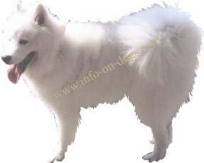 Samoyed white spitz