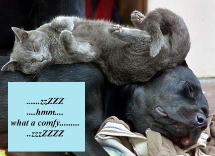 cat sleeping on a dog