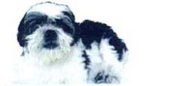 13 years old black & white Shih Tzu in short coat