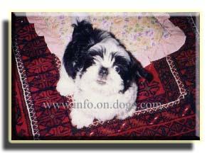 puppy - Shih Tzu