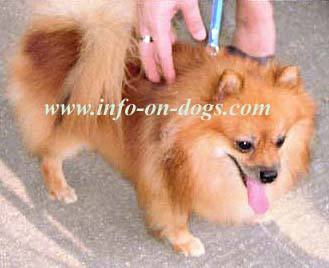 Dog breed : seen here is puffy yellow golden hair coat Pomeranian, the