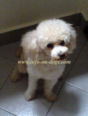 Poodles Of Germany Or Pudel Other Names Barbone And In French As Caniche