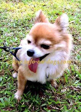 long hair coat Chihuahua