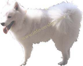 Samoyed white spitz